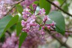 Pura - blossom tears