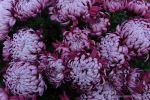 Ticino - crisantemi